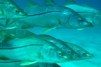 Common Snook-Centropomus undecimalis