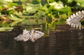 American Alligator Swimming - Okefenokee Swamp, Georgia