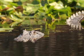 American Alligator Swimming - Okefenokee Swamp, Georgia