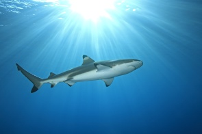 a blacktip reef shark swimming in shallow water with sunbeams and a sunburst on the surface