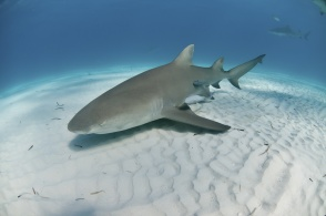 The view of a lemon shark swimming along the sea bed, Bahamas