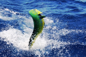 Mahi Mahi