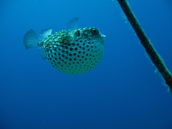 Porcupine Fish