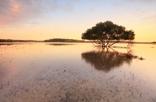 Single mangrove tree and its distinctive peg roots sticking up through sandy tidal shallows - warm tones. Bonny Vale Australia