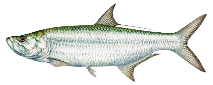 An Overview of the Amazing Tarpon