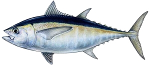 Blackfin Tuna Naples fishing boat