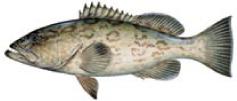 Gag grouper Naples fishing boat