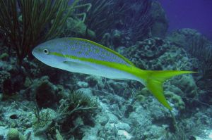 Yellowtail Snapper Naples fishing boat