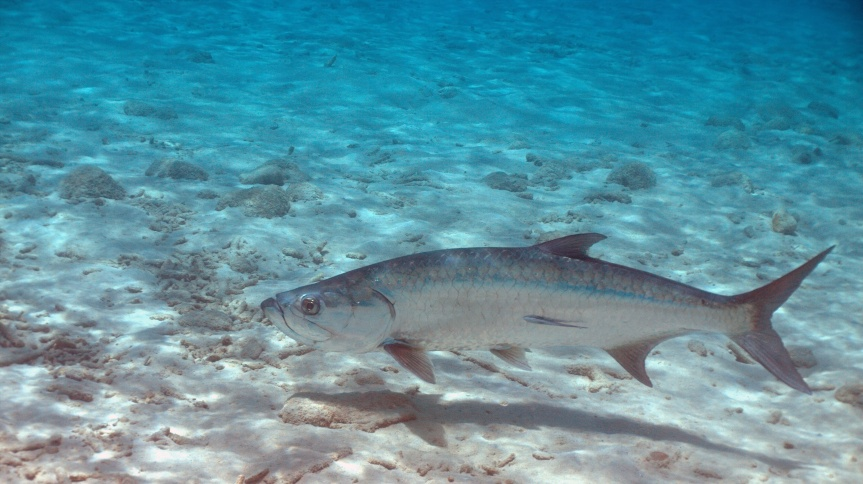 Florida tarpon fishing showing a tarpon underwater. Tarpon fishing trips in florida are one of the most popular.